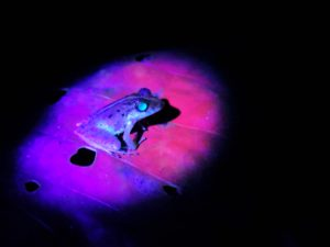 Night Walk Frog Blacklight
