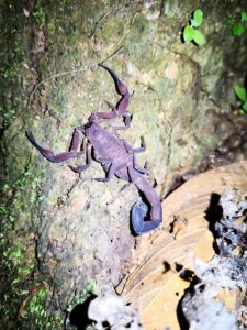 Night Walk Scorpion