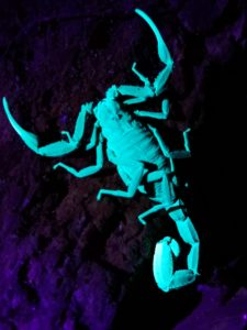 Night Walk Scorpion Blacklight